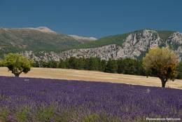 Blühender Lavendel auf dem Plateau de Valensole in der Provence